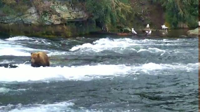 Diver Jr (Brown Bear No 51) At The Falls, 23 June - 3 July 2017 by GreenRiver