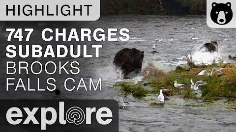 Bear 747 charges subadult brown bear (602?) below Brooks Falls - Brown Bear Live Cam Explore Highlights video 09.23