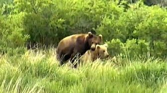Mating bears! Explore