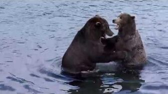 Play-fight between adult male bears October 4, 2014 68 and 868 Wayne Brother video by Mike Fitz-2
