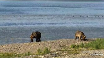 Bear 435 Holly's emancipated sub adult cubs LR Brooks falls 2020 07 15, video by Erum Chad