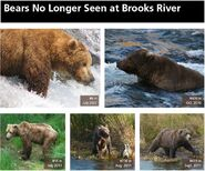 JACK 418 INFO 2014 BoBr PAGE 50 BEARS NO LONGER SEEN AT BROOKS RIVER TOP ONLY