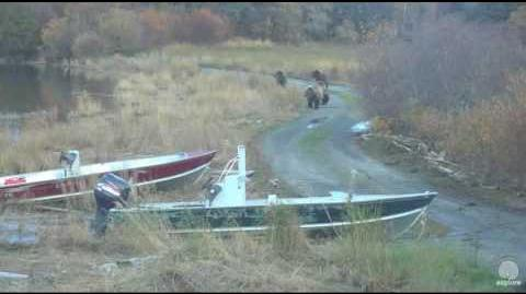 Bear 132 & cubs walking down the road Brooks falls Katmai 2016-10-04 video by Erum Chad (aka Erie)