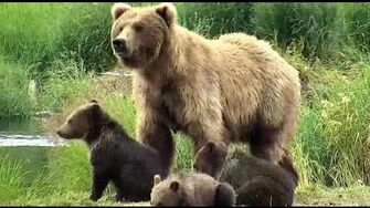 Bear 273 and cubs June and July 2019 2, video by Deanna Dittloff