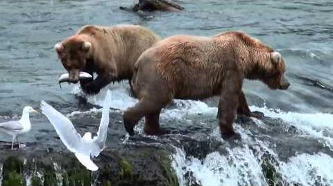 Bears at Brooks Falls - Katmai National Park July 2015 video by enapic