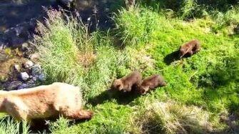 2013 0727 Katmai National Park 4, video by Eiji Takeshima