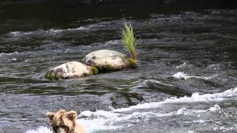 "Katmai Bear ""Walker"" Catches a Fish 2015 video by Tina Crowe"