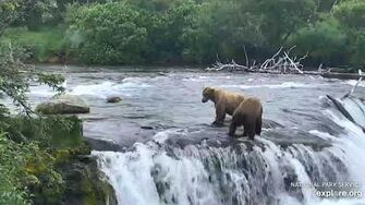 Subadult (820?) tries to pirate a salmon from 128 Grazer 6 22 2019, video by Lani H