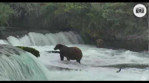 410 catches fish; 32 Chunk (foreground) and another bear in office 09 10 08 10 2016 video by Mickey Williams
