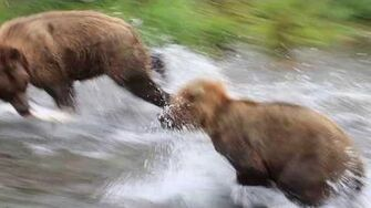 Disagreement over ownership - July 9, 2018 Brooks Falls AK, video by Maurice Whalen-0