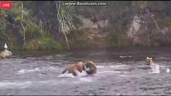 128 Grazer scolds her cub 8 30 17, video by LuvBears