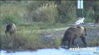 854 Divot and yearling, swimming bear Lower River, September 1, 2014, video by Janie Nook