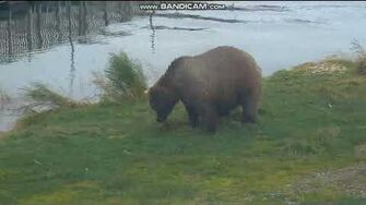 Bear 409 Beadnose RW Brooks Falls Katmai Alaska 2018 09 29 by Erum Chad (aka Erie)