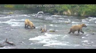 The first bear gets Grazered 6 22 19 shot in slow mo by Ratna Narayan