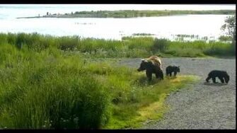 Beadnose & Cubs ~ 2016 06 22 by Victoria White
