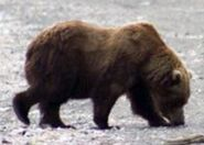 INFO BEARS SEEN 2016.06.13 RANGER DAVE 2016.06.14 08.47 COMMENT 410 & 2 OTHER UNIDd BEARS - 435 & 32 MATING FALLS ISLAND 01 & 02 PIC 02 ONLY ZOOM