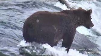 Sub adult bear 821 Pepper closeup on the lip Brooks Falls Katmai 2018 08 24, video by Erum Chad