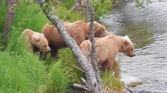 Bear 708 2 Katmai National Park July 2017 by Mocha