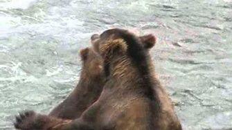 Brown Bears Sparring by Brooks Falls 2010 Season or Prior by Robert Finer-0
