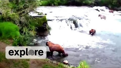 Cub Drama at Brooks Falls - Mother 402 Protects Her Cubs July 16, 2013 video by Explore