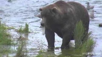 Otis on the Island 10 1 15 Katmai NP by Mickey Williams