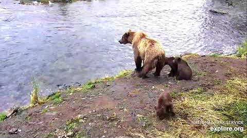 402 and 4 coy, Brooks Falls Brown Bears July 30, 2018 by Ruxandra Nicolae