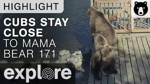Cubs Stay Close to Mom - Katmai National Park - Live Cam Highlight