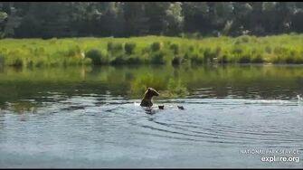 Unknown ID Bear Sow w 3 coy RW Brooks Falls 2020 07 04, video by Erum Chad