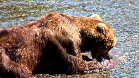 2013 0727 Katmai National Park Brown Bear Eating Salmon at Brooks Falls by Eiji Takeshima