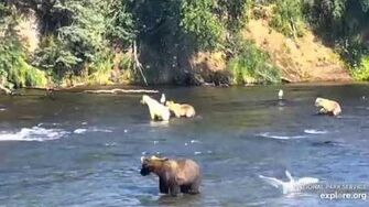 482 Brett and yearlings at the falls 8 2 2019, video by Lani H