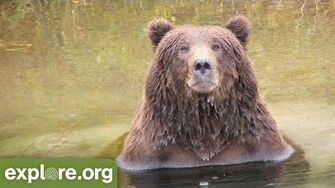Meet Bear 775 Lefty - Bears of Brooks Falls by Mike Fitz, Resident Naturalist with Explore
