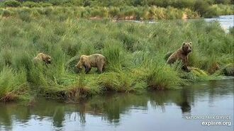 Maybe Bear 505? with both 2.5 year-old cubs by Melissa Freels