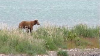 Momma Grizzly bear with 3 tiny cubs by 5831a (409 Beadnose with 3 spring cubs July 13, 2012 or prior)