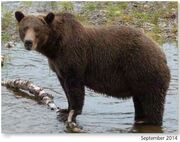 NOSTRIL BEAR 813 PIC 2014.09.xx NPS PHOTO 2015 BoBr PG 46 02