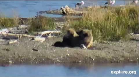 171 makes belly hole and nurses her remaining spring cub (610?) 09 28 2014 video by JoeBear