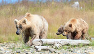435 Holly (left) with her spring cub (719 background, center) and adopted yearling (503 foreground, right) July 25, 2014 photo by Tina Crowe (aka CalliopeJane) at Margot Creek