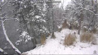 Bear 708 with Cubs 907 & 908 Make a Mess of a Salmon in the Snow 2017-10-22 by Birgitt