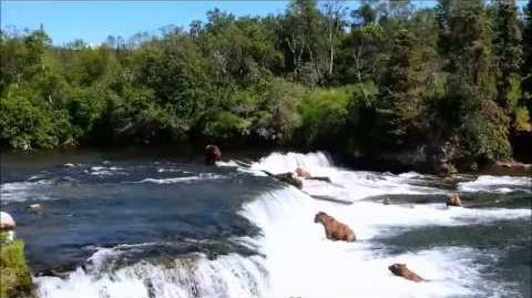 Bears catching salmons in Brook's falls, Katmai National Park, Alaska July 2013 video by Jacob Lavee