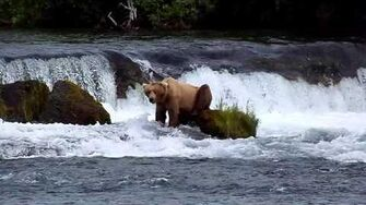 Brown Bear has awkward pose while watching water at Brooks Falls, video by MSO Belle, 6 29 2015 or prior