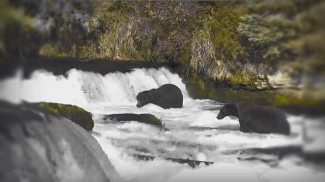879 Doublewide Brown Bear of Katmai 2016 video by GreenRiver
