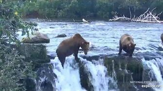 """Unknown """"hump"""" bear scales the falls to get scraps 8 3 2019 by Lani H"""