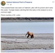 INFO BEARS SEEN 2018.05.20 - 2018.05.23 WHO SUBADULT KNP&P 2018.05.24 06.31 FB POST w B LUTES PHOTO