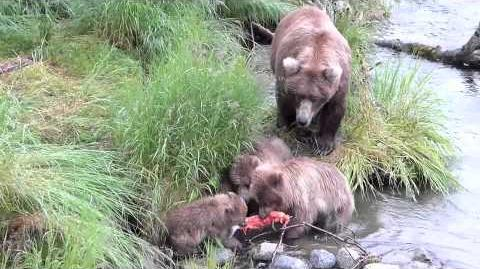 Bear cubs fighting for salmon (409 Beadnose & yearlings) July 2013 video by Eva Thiemann-0