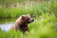INFO BEARS SEEN 2017.06.21 APPROX 10.54 410 RDAVE COMMENT 2017.06.21 11.09 PIC ONLY 01