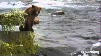 Bear 402 (Brooke's) yearling Cub July 8, 2014, video by Janie Nook