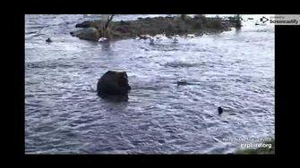 Brown Bear Cam - 10 21 19 by Elle Lynn (aka campfiredavis)