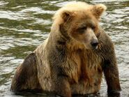 410 INFO 2015.07.23 KNP&P FACEBOOK POST BEARCAM BEAR PROFILE 410 PIC ONLY ZOOM