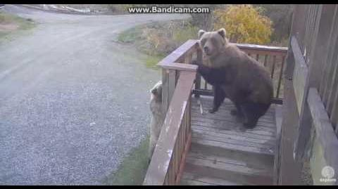 Bear 273 & Velcro caught chewing platform 2016 10 06 video by Erum Chad (aka Erie)