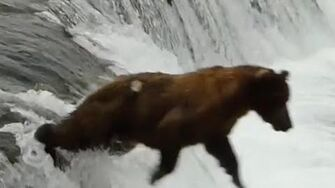 Bear Belly Flops Off of Brooks Falls, video by Katmai National Park and Preserve