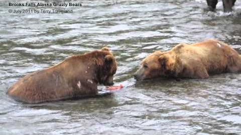Grizzly Bears Fighting Over Salmon July 2011 by smuzta